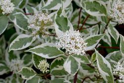Дерен белый Elegantissima конт. 3 л