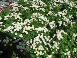 Хризантема Снежный шар, П9