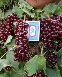 Смородина красная традиционные сорта Виксне